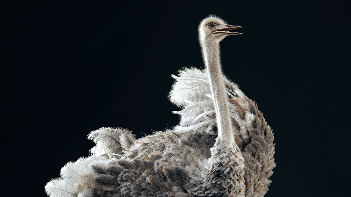 Ostrich standing against a black backdrop with wings spread and beak slightly open