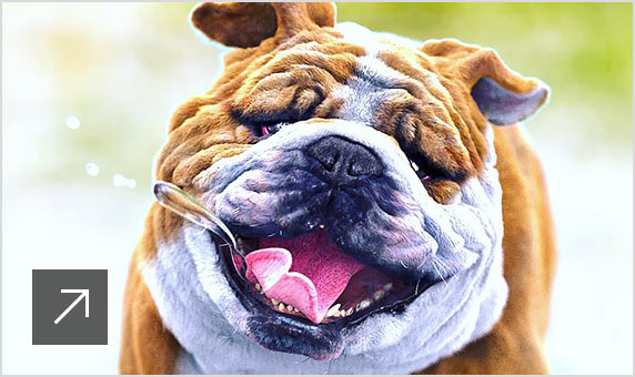 3D rendering of a bulldog running towards the camera with mouth open, tongue hanging out, and drool flying in the air