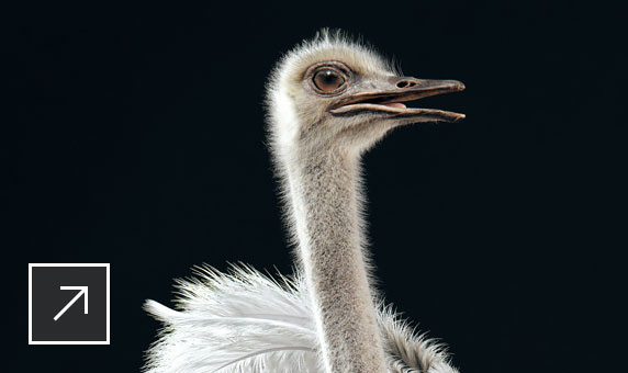 Photorealistic Somali ostrich, modelled in Maya